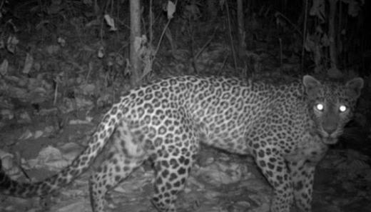 Leopard.j