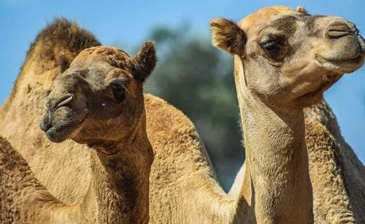 camel14jan20