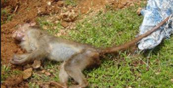dead-monkey.j