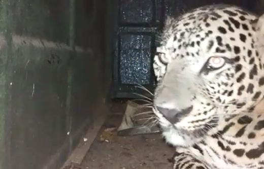 cheetah27nov19...