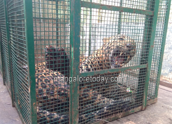 leopard12nov19...
