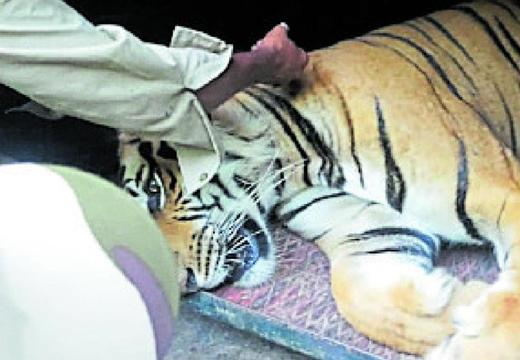 tiger14oct19.jpg