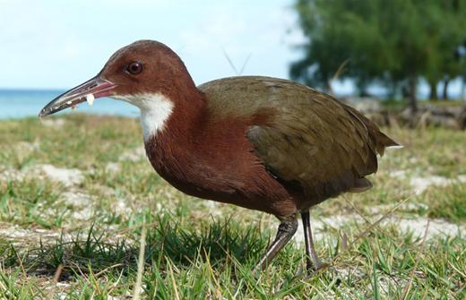 Aldabra-bird-e...