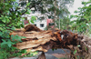 Udupi :Heavy rains, strong winds uproot huge tree near  Brahmagiri