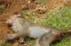 KFD virus detected in dead monkeys in Kundapur