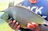 Rare 'Bluespine Unicorn' fish found in net at Karwar
