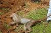 Eight monkeys found dead in Udupi district