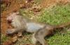 Kundapur: 6 monkeys found dead at Pernadka