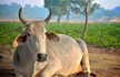 Three-Month Pregnant Cow 'Raped' in Andhra Pradesh, Left Tied to a Tree
