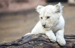 Rare White Lion Born in China�s Nantong Forest, Pics of Simba�s First Day at Zoo