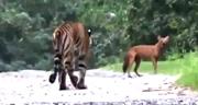 Caught on Camera: Tiger chases wilf dog in Kabini, Karnataka