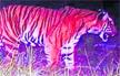 Bandipur killer tigress prowls again, kills newborn elephant calf