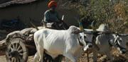 Bullock cart owner fined Rs 1000 under Motor Vehicles Act in Uttarakhand