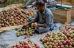 Kashmir: Angry farmers won�t sell apples to NAFED, addled govt takes mandi keys