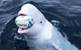 Man Plays Fetch With Beluga Whale, video goes viral