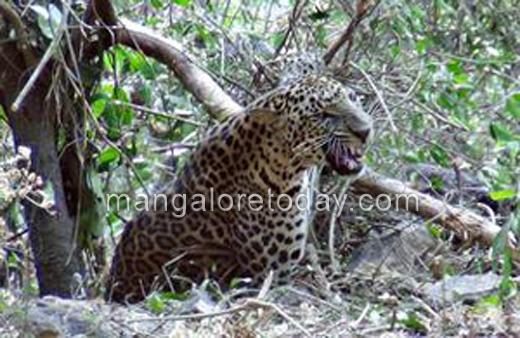 Leopard_