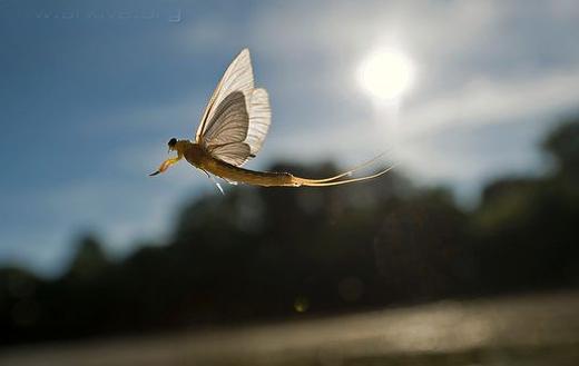 Tisza-mayfly-i...