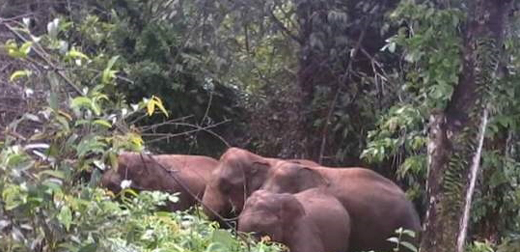 Sullia : Villagers panic as elephant herd enters plantation